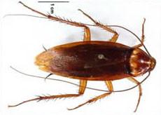 American Cockroach-pest-control-cabarita-beach