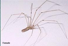 Daddy long legs female pest control