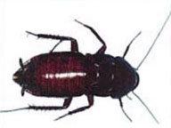 Oriental cockroach pest control pottsville beach