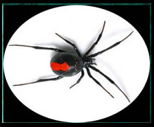REDBACK spider pest control kingscliff