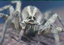Wolf spider pest control tweed heads