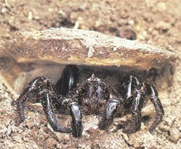 trapdoor spiders pest control Tweed coast
